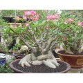 Насіння Adenium Thai Socotranum DIAMOND CROWN