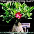 Семена Адениум (Adenium) Thai Socotranum KING CROWN