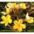 Семена Плюмерии (Plumeria) Rubra GOLD PLEAT