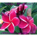Семена Плюмерии (Plumeria) Rubra LOVE FUCHSIA