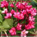 Семена Плюмерии (Plumeria) Rubra LOVE SPEAK