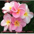Семена Плюмерии (Plumeria) Rubra MY TRUE LOVE