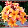 Семена Плюмерии (Plumeria) Rubra ORANGE CARAMEL