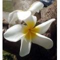 Семена Плюмерии (Plumeria) ANGEL WHITE
