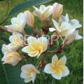 Насіння Плюмерії (Plumeria) DWARF YELLOW