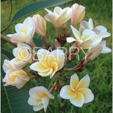 Семена Плюмерии (Plumeria) DWARF YELLOW