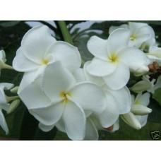 Семена Плюмерии (Plumeria) OBTUSA SAMOAN FLUFF