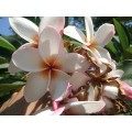 Насіння Плюмерії (Plumeria) ORANGE WHITE