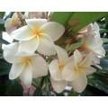 Семена Плюмерии (Plumeria) ORCHID WHITE
