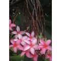 Семена Плюмерии (Plumeria) PENDULOUS PINK