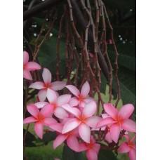 Насіння Плюмерії (Plumeria) PENDULOUS PINK
