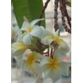 Семена Плюмерии (Plumeria) PENDULOUS WHITE