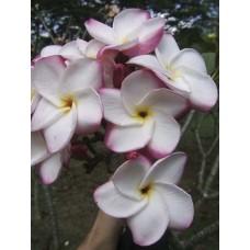 Насіння Плюмерії (Plumeria) PINK DOT