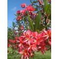 Насіння Плюмерії (Plumeria) RUBRA KAKUA WILDER