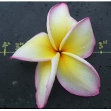 Семена Плюмерии (Plumeria) SNOWY PINK