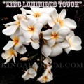 Семена Плюмерии (Plumeria) Rubra KING LUMINOUS TOUCH