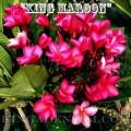 Семена Плюмерии (Plumeria) Rubra KING MAROON
