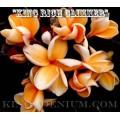 Семена Плюмерии (Plumeria) Rubra KING RICH GLIMMER