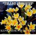 Семена Плюмерии (Plumeria) Rubra YELLOW SUNSHINE