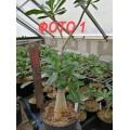 Растение Adenium Obesum БОЛЬШИЕ