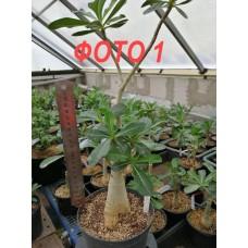 Рослина Адениум Тучний ВЕЛИКА
