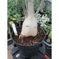 Большое растение Адениум (Adenium) Obesum 1
