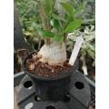 Большое растение Адениум (Adenium) Obesum 2