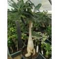 Большое растение Адениум (Adenium) Obesum 3