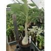 Большое растение Адениум (Adenium) Obesum 5
