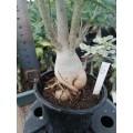 Большое растение Адениум (Adenium) Obesum 6