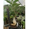 Велика рослина Аденіум (Adenium) Obesum 8