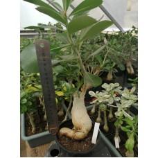 Велика рослина Аденіум Тучний 8