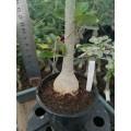 Большое растение Адениум (Adenium) Obesum 10