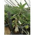 Рослина Аденіум (Adenium) Thai Socotranum KING CROWN