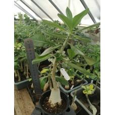 Растение Адениум Thai Socotranum KING CROWN