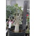 Растение Адениум (Adenium) Arabicum DWARF RCN