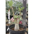 Растение Адениум (Adenium) Thai Socotranum GOLDEN CROWN