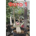Растение Адениум (Adenium) Thai Socotranum DIAMOND CROWN