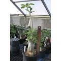 Растение Адениум (Adenium) Obesum БОЛЬШОЙ 1