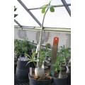 Растение Адениум (Adenium) Obesum БОЛЬШОЙ 2