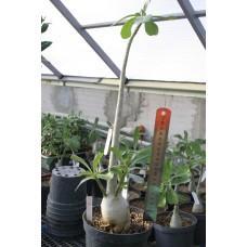 Растение Адениум Тучный БОЛЬШОЙ 2