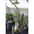 Растение Адениум (Adenium) Obesum БОЛЬШОЙ 4