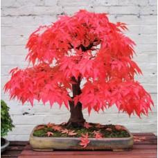 Семена Acer Palmatum Atropurpureum (Клён Дланевидный)