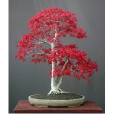 Семена Acer Palmatum (Японский Клен)