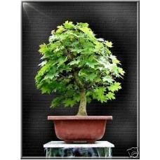 Семена Acer Platanoides (Клён Остролистный)