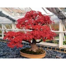 Семена Acer Rubrum (Клён Красный)