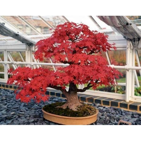 Acer rubrum - Arce rubrum bonsai ...