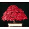 Семена Amur Maple (Acer ginnala - Клён приречный)