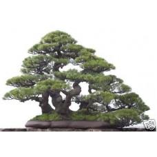 Семена Australian Pine (Австралийская Сосна)
