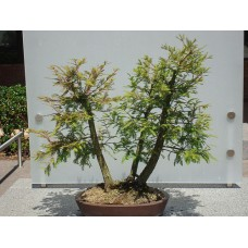 Семена Bald Cypress (Лысый Кипарис)